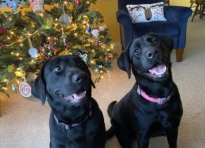 Patty and Sally - Our Black Lab Puppies